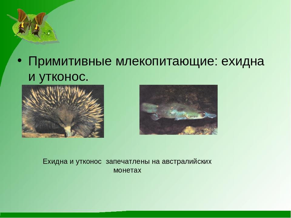 Примитивные млекопитающие: ехидна и утконос.  Ехидна и утконос запечатлены н...