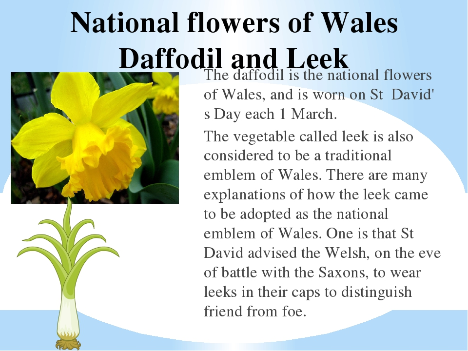 Daffodils daffodil wales national flower flower west wales week view daffodil national flower of wales