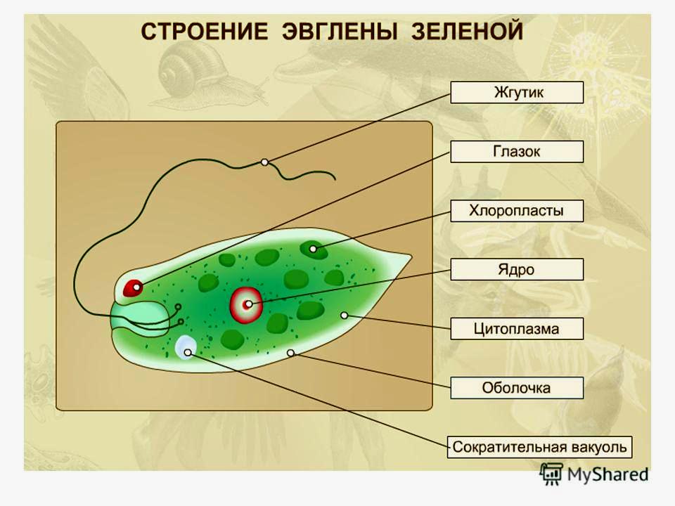 эвглена зеленая картинки ещё