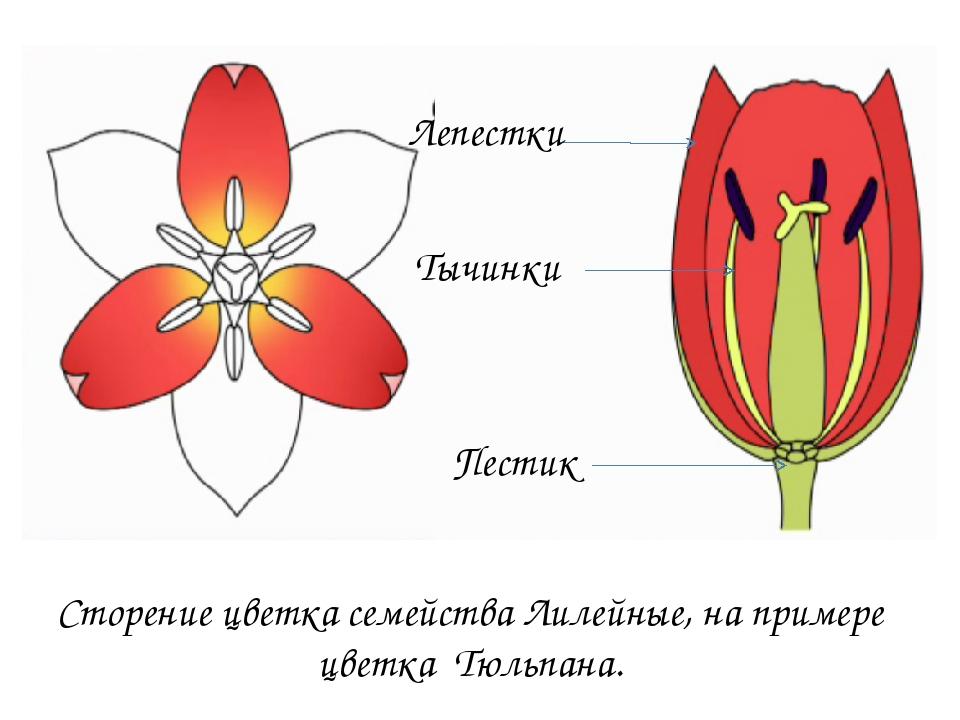 Семейство лилейные растения картинки