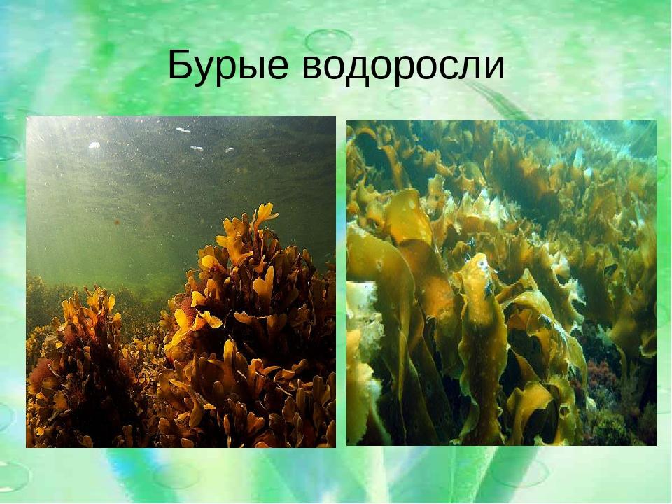 все о бурых водорослях с картинками