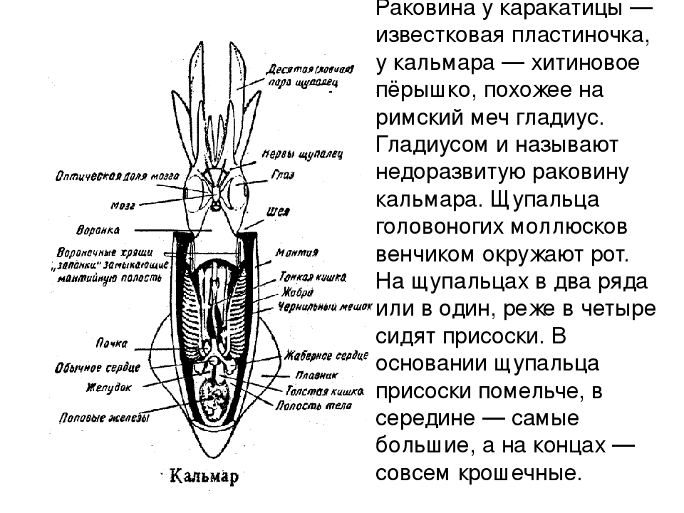 Раковина у каракатицы — известковая пластиночка, у кальмара — хитиновое пёрыш...