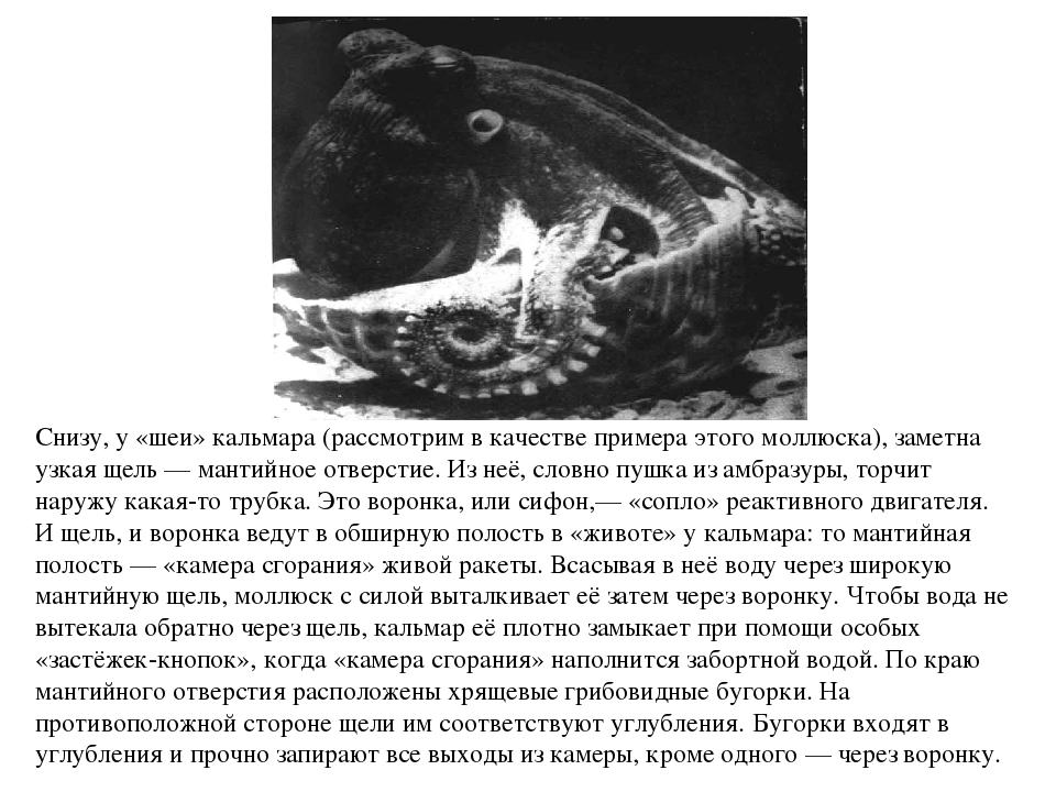 Снизу, у «шеи» кальмара (рассмотрим в качестве примера этого моллюска), замет...