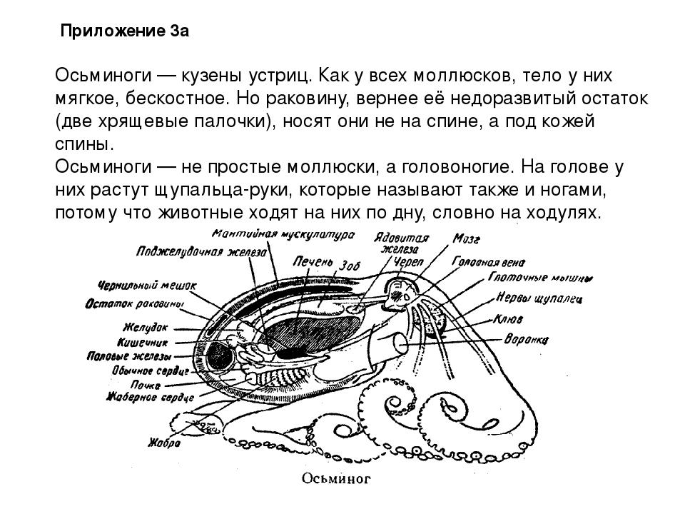 Осьминоги — кузены устриц. Как у всех моллюсков, тело у них мягкое, бескостно...