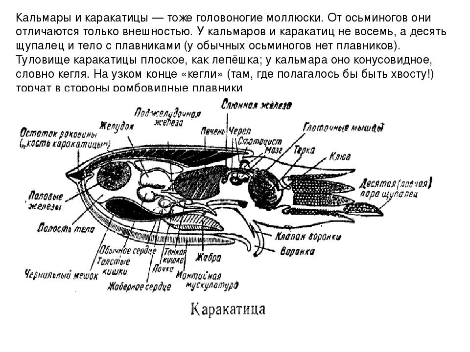 Кальмары и каракатицы — тоже головоногие моллюски. От осьминогов они отличают...