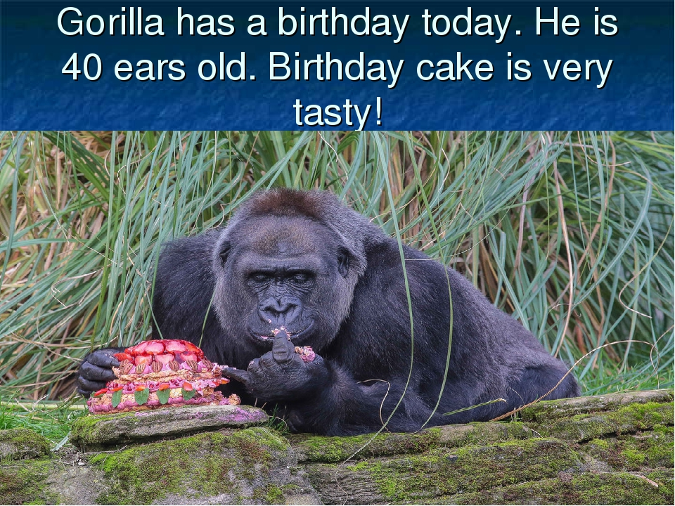 Gorilla has a birthday today. He is 40 ears old. Birthday cake is very tasty!