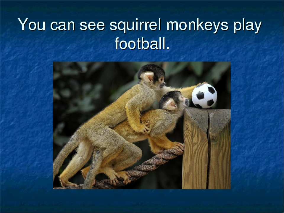 You can see squirrel monkeys play football.
