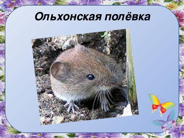Ольхонская полёвка