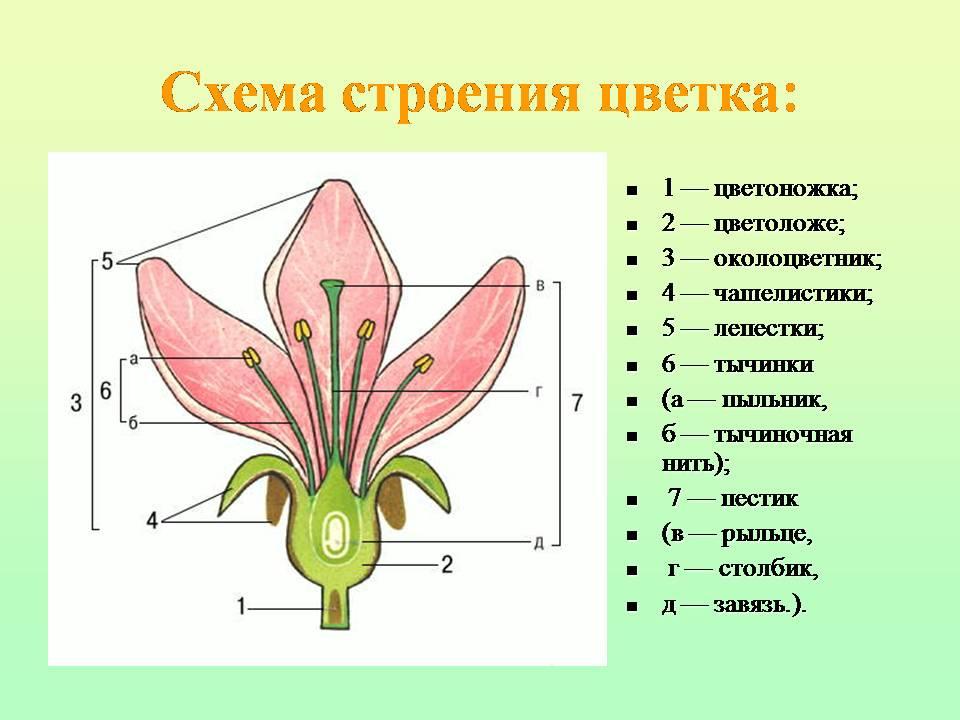 Схема цветка картинка