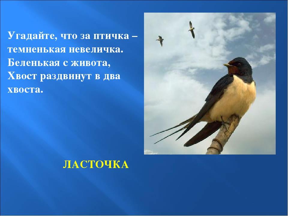 ЛАСТОЧКА Угадайте, что за птичка – темненькая невеличка. Беленькая с живота,...