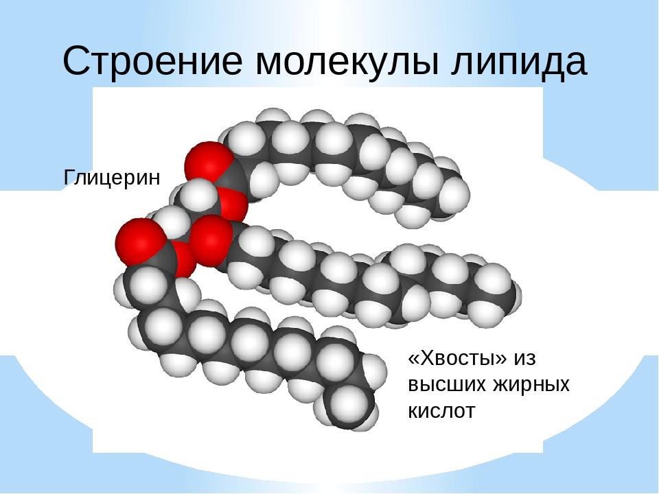 Строение молекулы липида Глицерин «Хвосты» из высших жирных кислот
