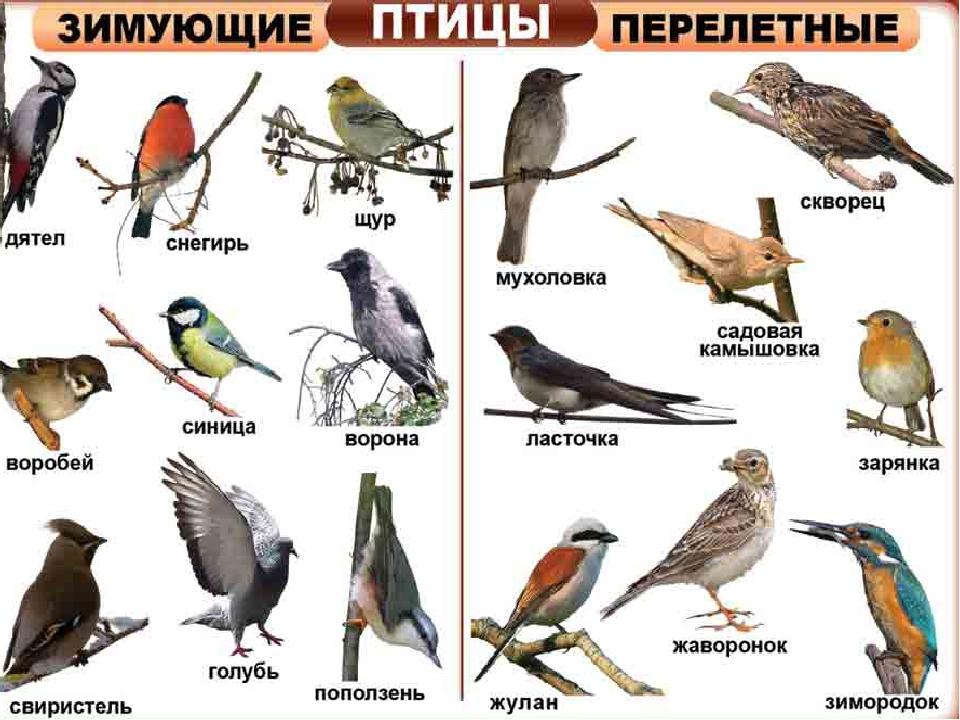 одиннадцати птицы зимующие в ярославской области фото с названиями наклейки