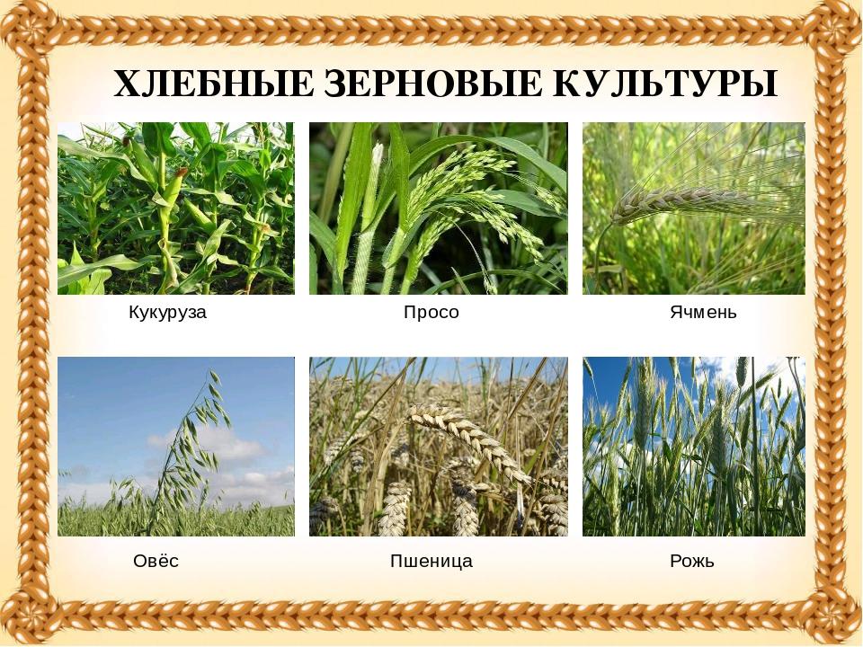 Зерновые растения фото с названиями созревают
