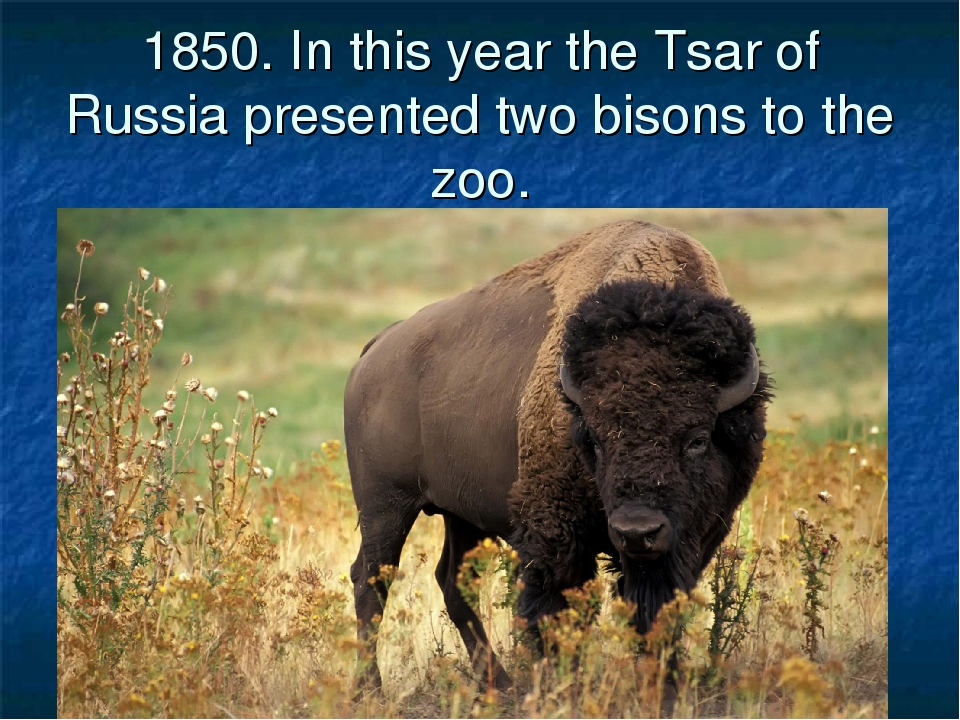1850. In this year the Tsar of Russia presented two bisons to the zoo.