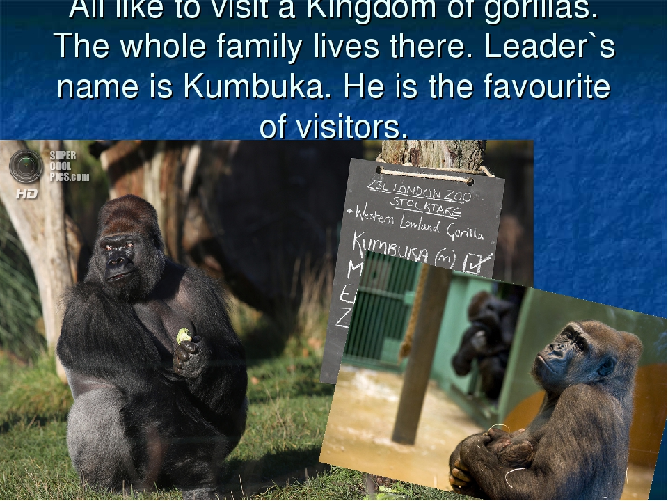 All like to visit a Kingdom of gorillas. The whole family lives there. Leader...