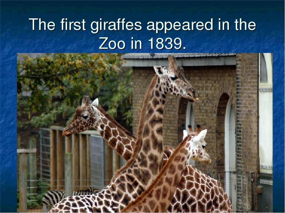 The first giraffes appeared in the Zoo in 1839.