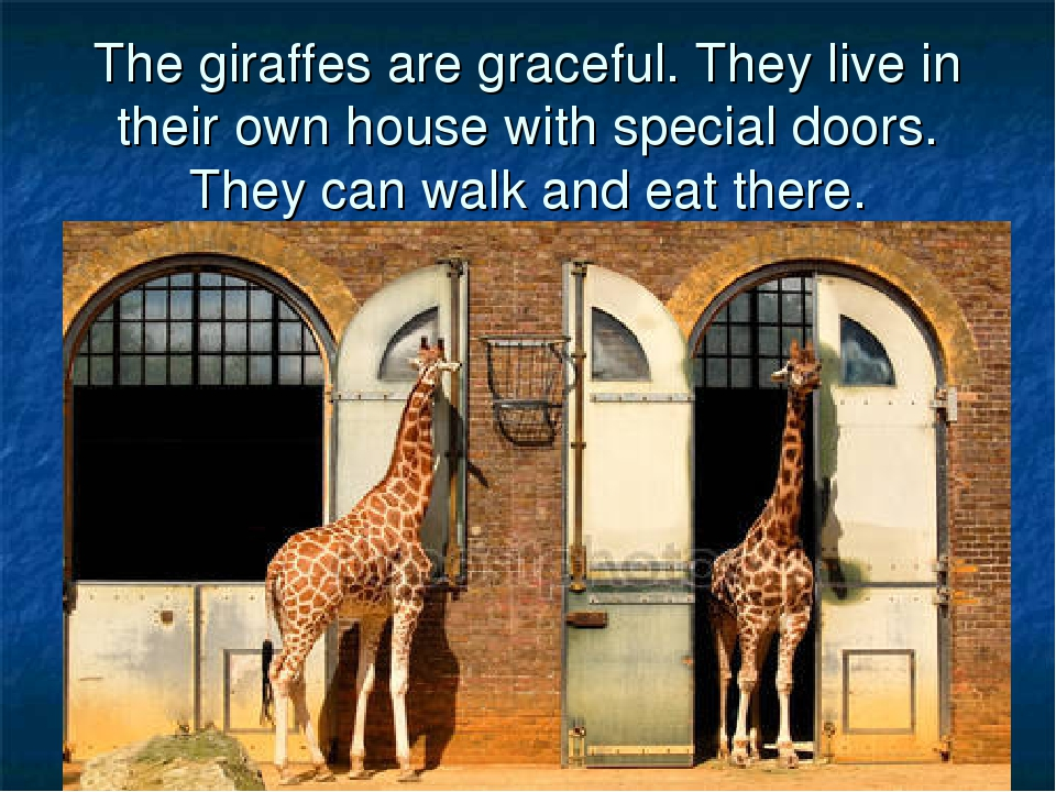 The giraffes are graceful. They live in their own house with special doors. T...