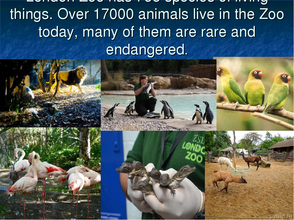 London Zoo has 755 species of living things. Over 17000 animals live in the Z...
