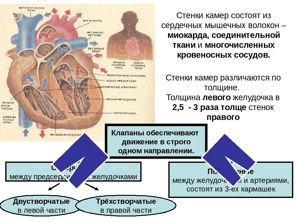 Стенки камер состоят из сердечных мышечных волокон – миокарда, соединительной...