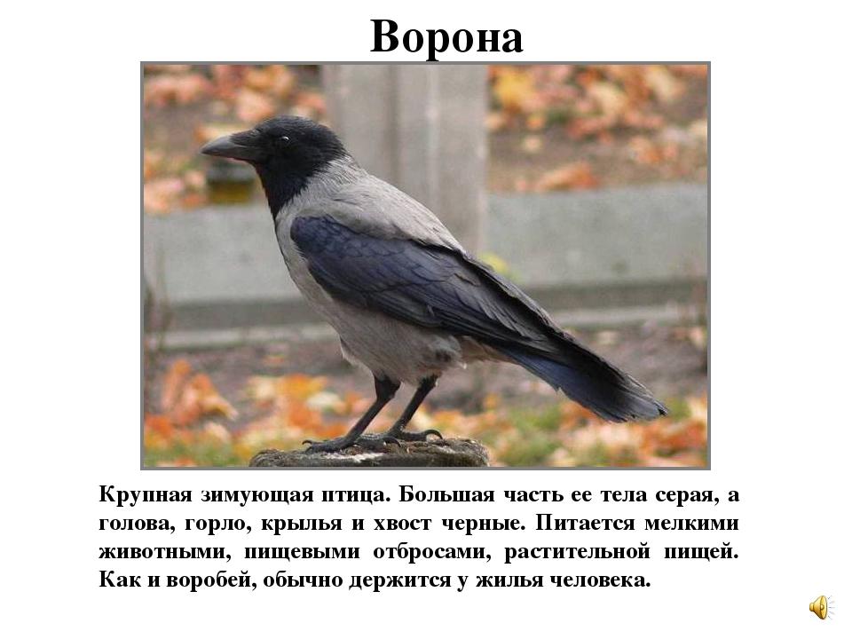 Птица с серым телом и черными крыльями