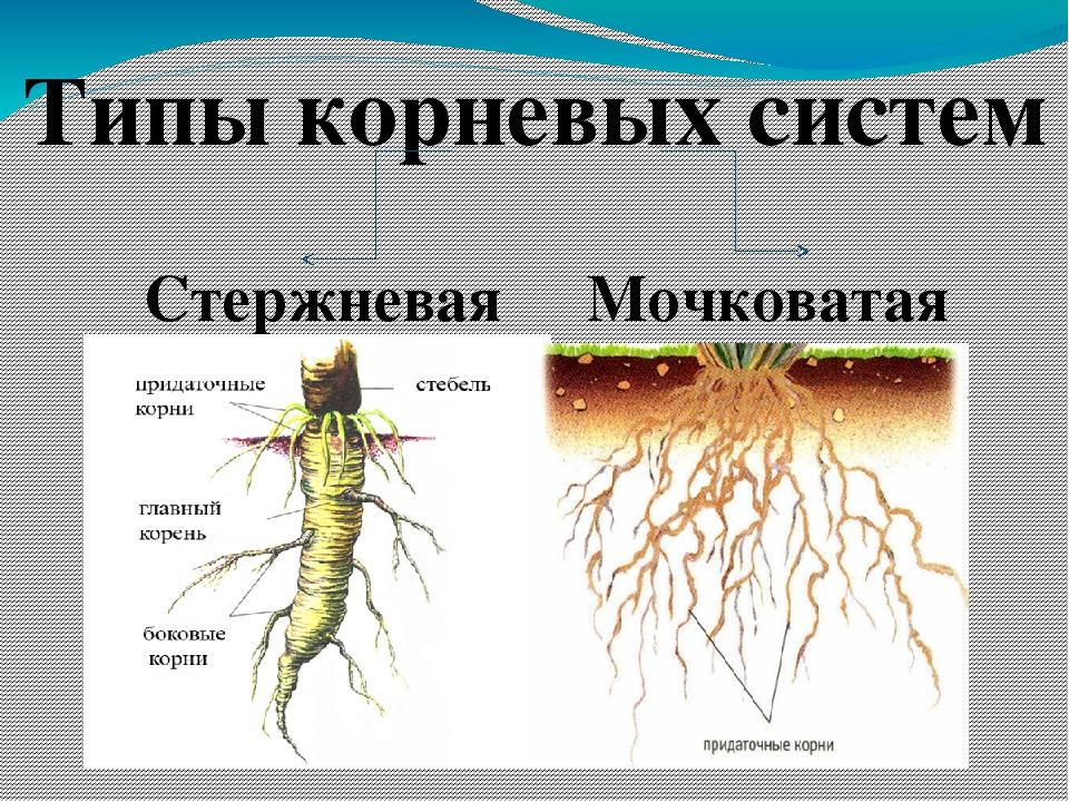 Корень биология картинка