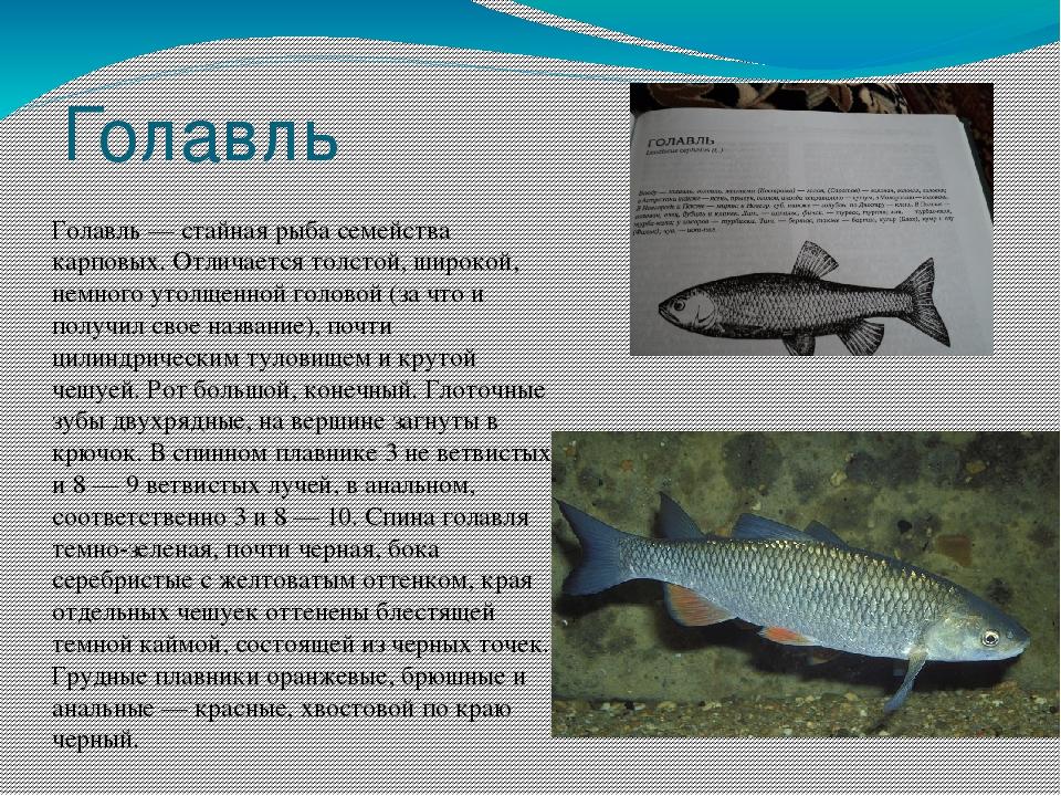 мелкая речная рыба фото и название сам, возможны