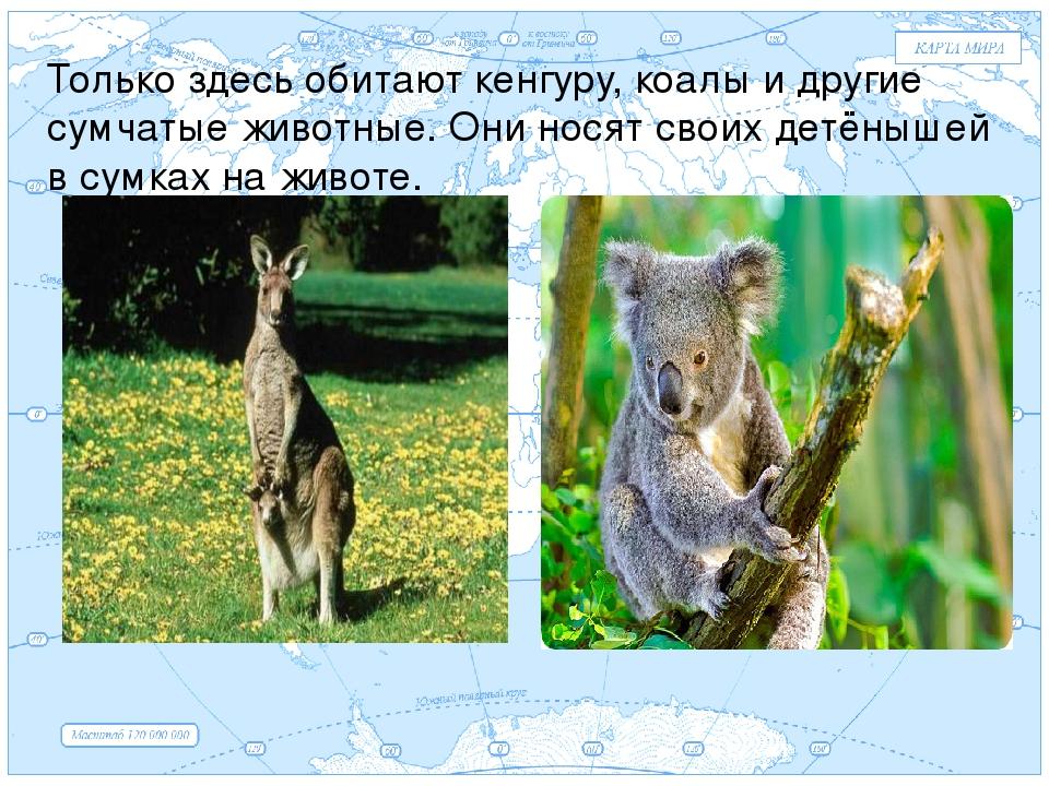 Евразия . Только здесь обитают кенгуру, коалы и другие сумчатые животные. Они...