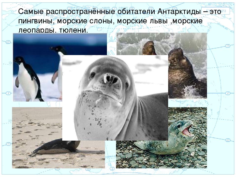 Евразия . Самые распространённые обитатели Антарктиды – это пингвины, морские...