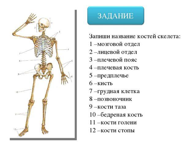 презентация 8 класс кости скелета