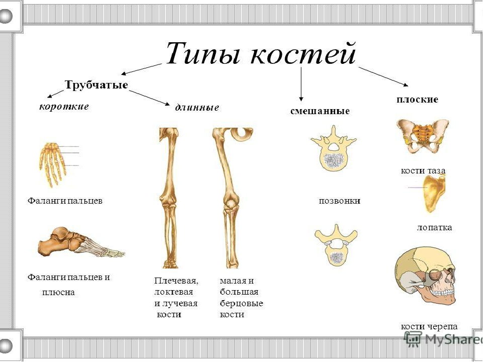 Какие кости образуют позвоночник человека плоские длинные