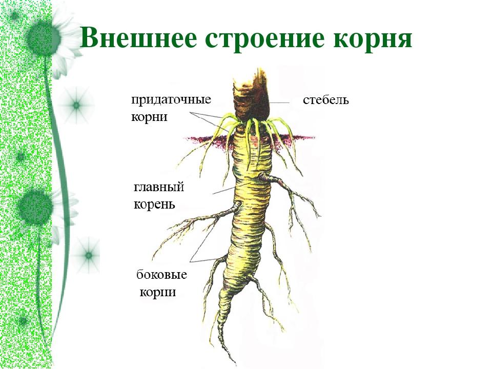 Картинки корень и его строение