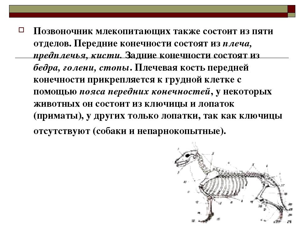 Позвоночник млекопитающих состоит из пяти отделов