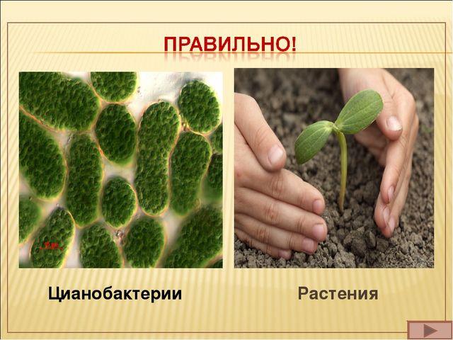 Цианобактерии Растения