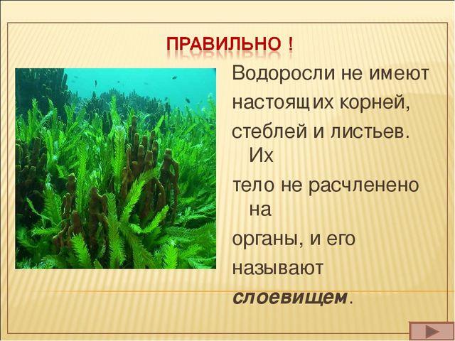Водоросли не имеют настоящих корней, стеблей и листьев. Их тело не расчленено...