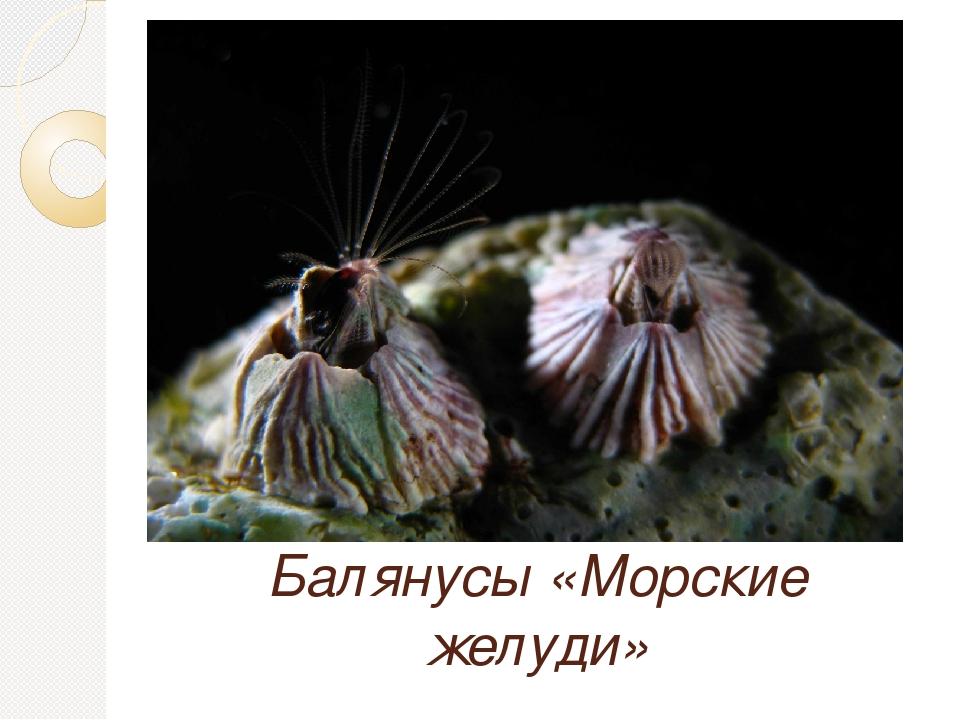 Балянусы «Морские желуди»