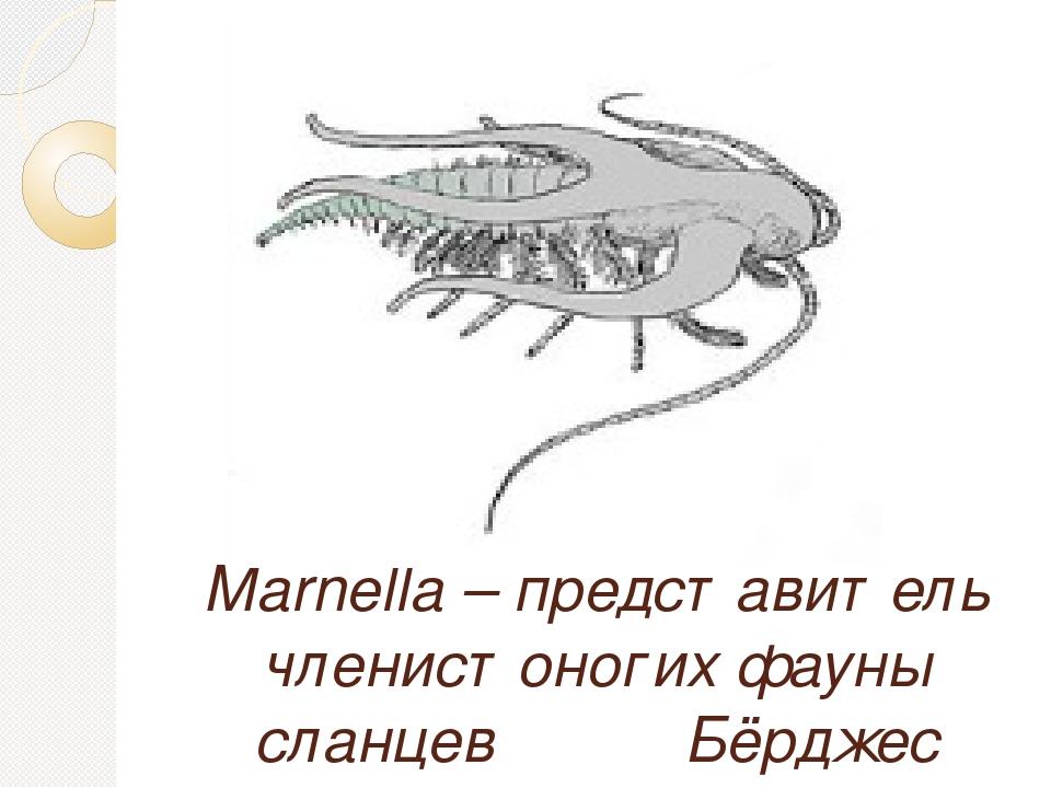 Marnella – представитель членистоногих фауны сланцев Бёрджес