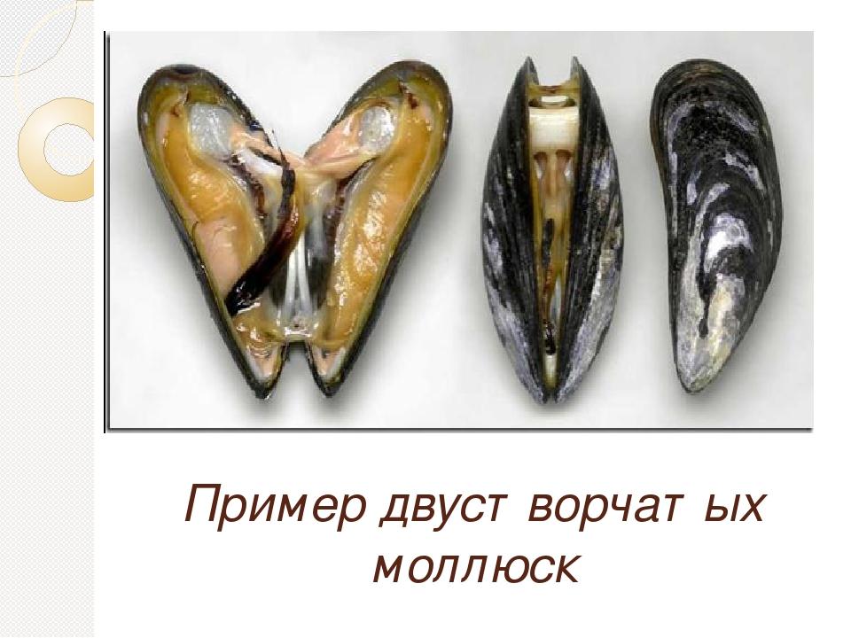 Пример двустворчатых моллюск