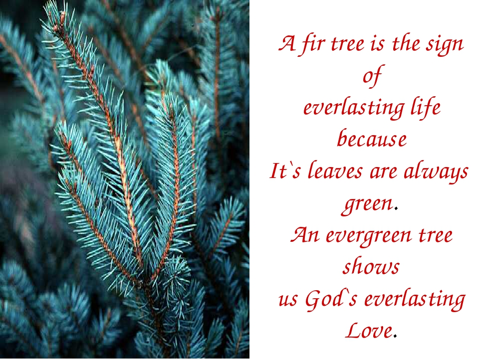 A fir tree is the sign of everlasting life because It`s leaves are always gre...