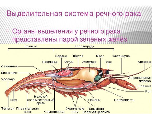 Её гормоны запускают и ускоряют линьку, а в нейросекреторных клетках глазных стебельков вырабатываются гормоны, подавляющие её деятельность, то есть препятствующие наступлению линьки.