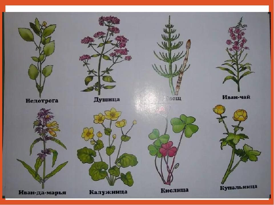 растения леса картинки и названия распространенный вариант