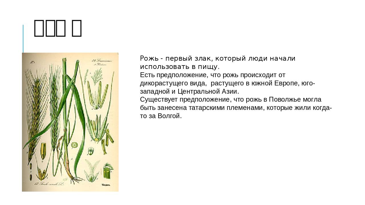 Рожь Рожь - первый злак, который люди начали использовать в пищу. Есть предпо...