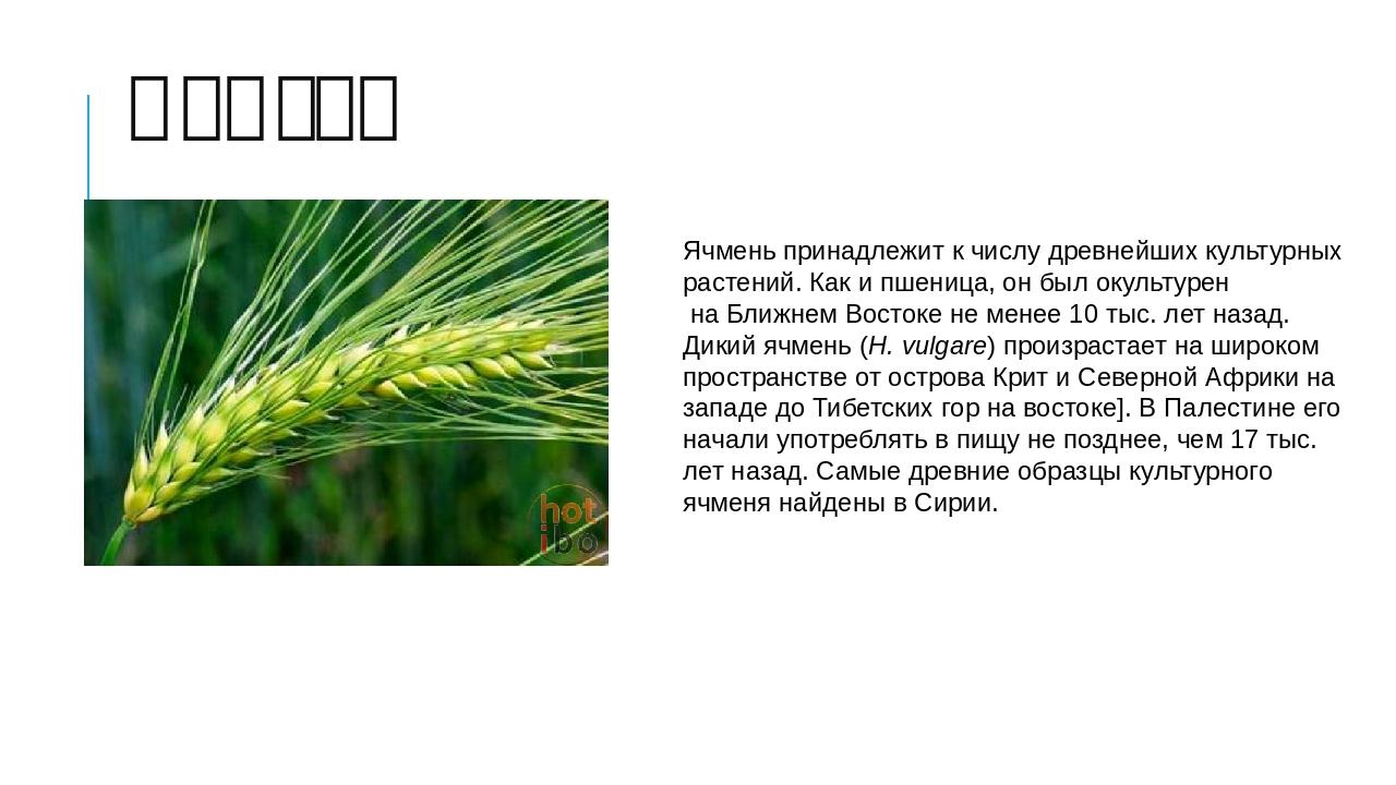 Ячмень Ячмень принадлежит к числу древнейшихкультурных растений. Как ипшени...