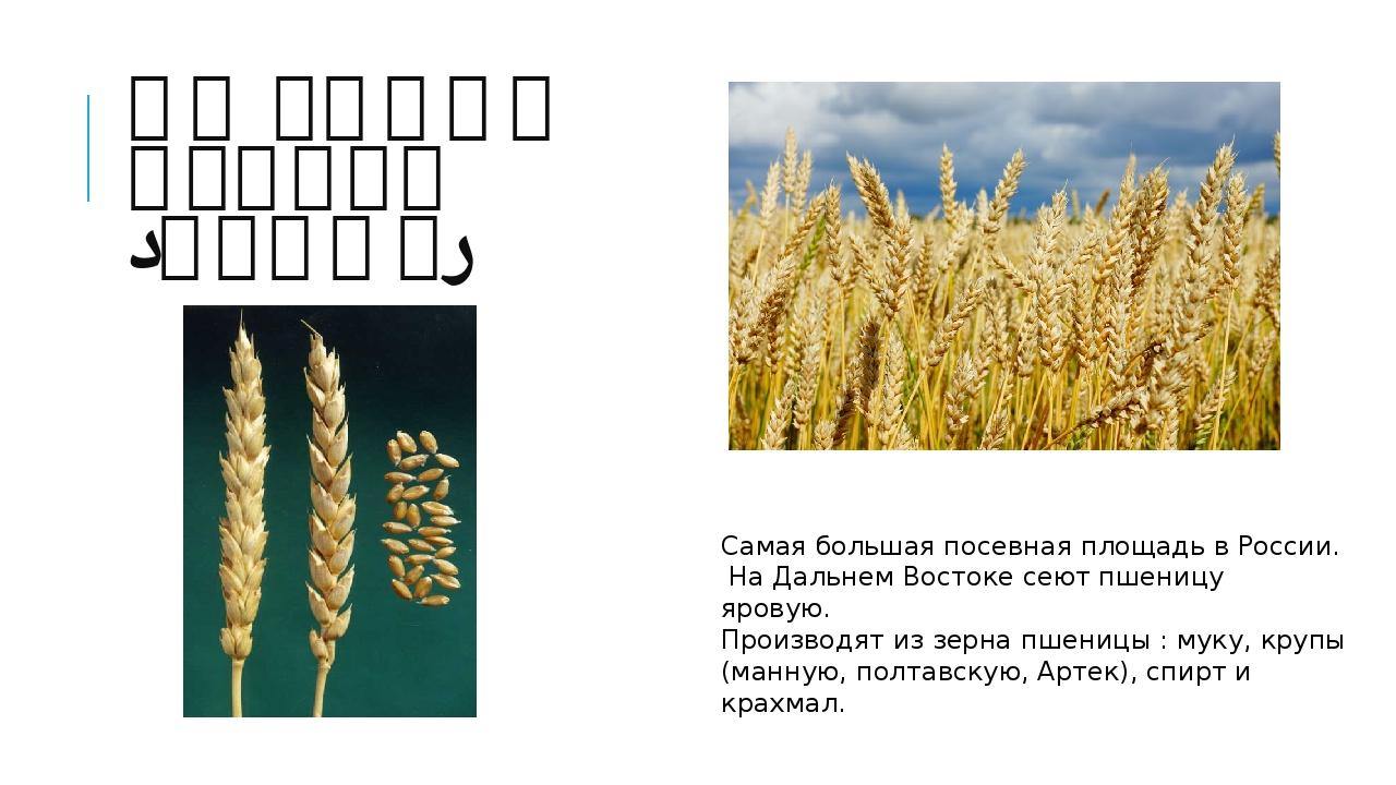 ПШЕНИЦА ЯРОВАЯ (ЯРИЦА) Самая большая посевная площадь в России. На Дальнем Во...