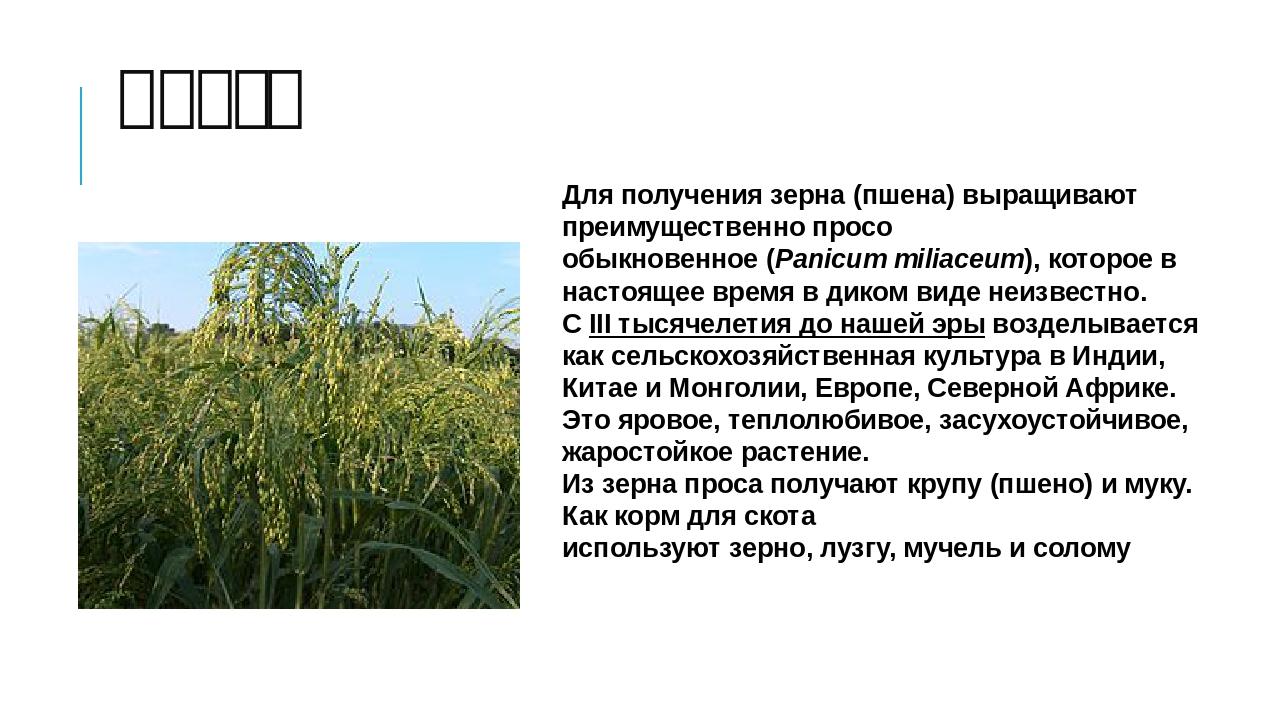 просо Для получения зерна (пшена) выращивают преимущественнопросо обыкновенн...
