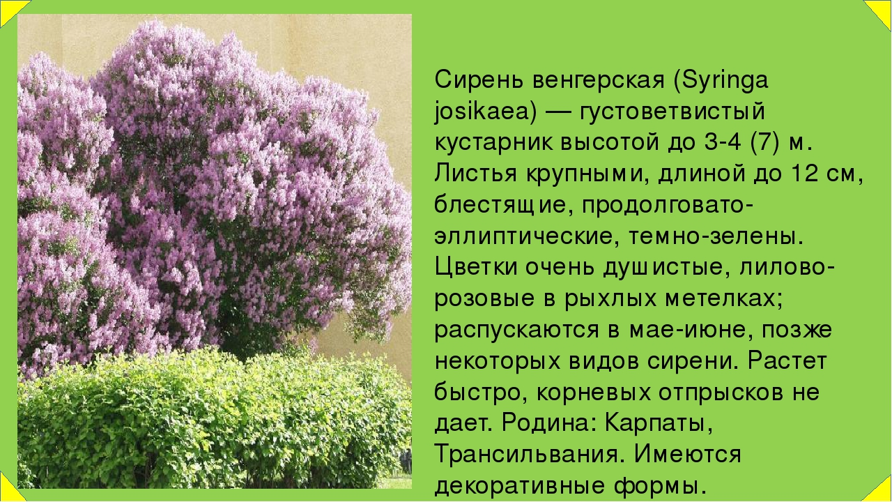 Описание кустарников с картинками