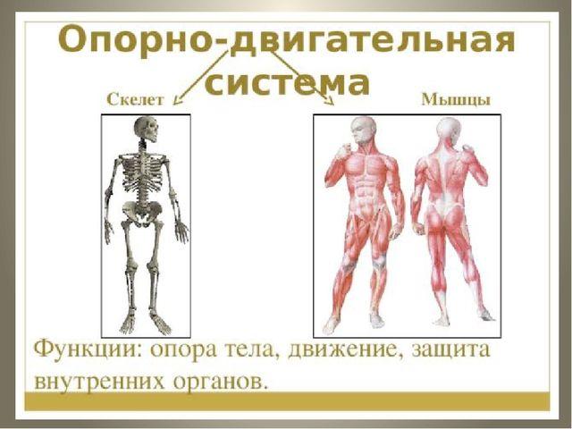 Значение Опорно-двигательной Системы.скелет.соединение Костейконспект Урока 9 Класс 8 Вид