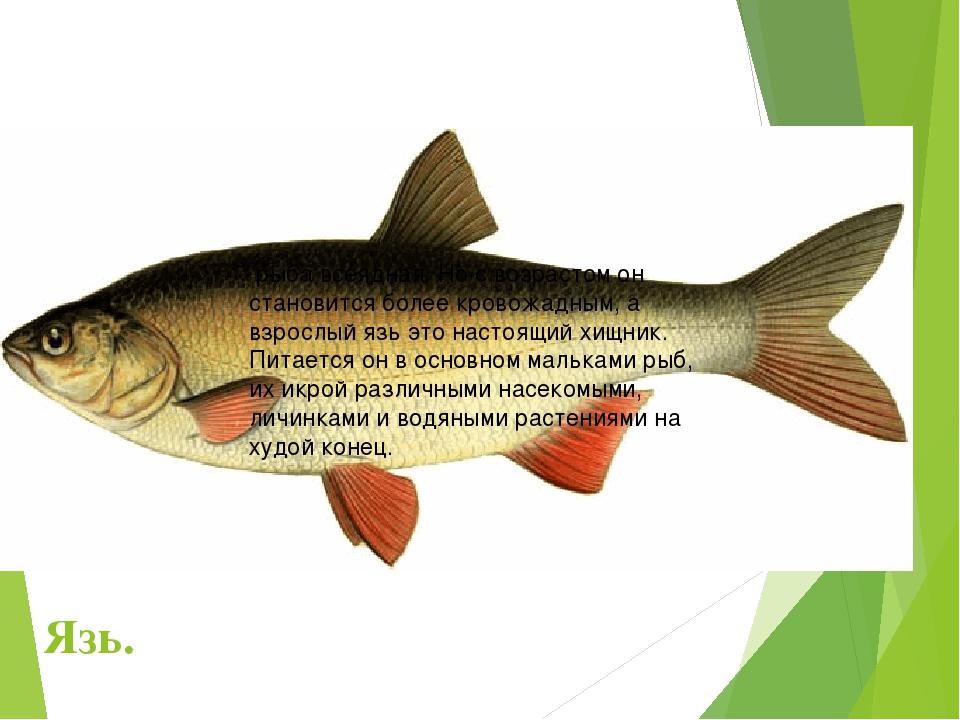 очень тихо, язь рыба фото и описание огромном количестве