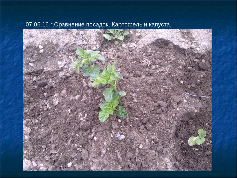 07.06.16 г.Сравнение посадок. Картофель и капуста.