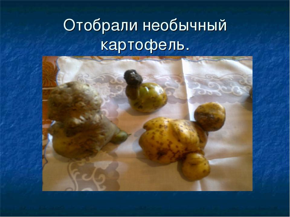 Отобрали необычный картофель.