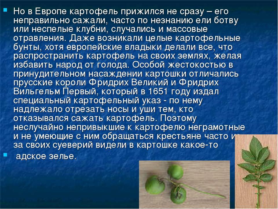 Но в Европе картофель прижился не сразу – его неправильно сажали, часто по не...